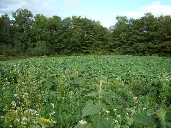 Food Plots For Turkeys Food Plots For Deer And What