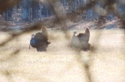 Spring Turkey Pics 011