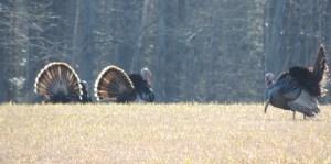 Spring Turkey Pics 014